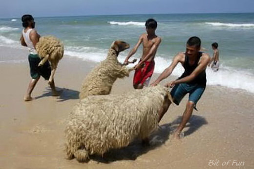 taking sheep to the beach for a swim