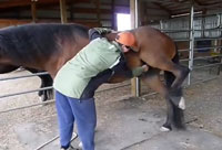 Horse Likes Belly Scratched