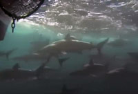 Sharks Follow Boat