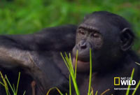 Wild Wives Bonobo Love