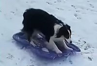 Dog Takes Herself Sledding