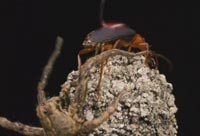 The Bombardier Beetle And Its Crazy Chemical Cannon